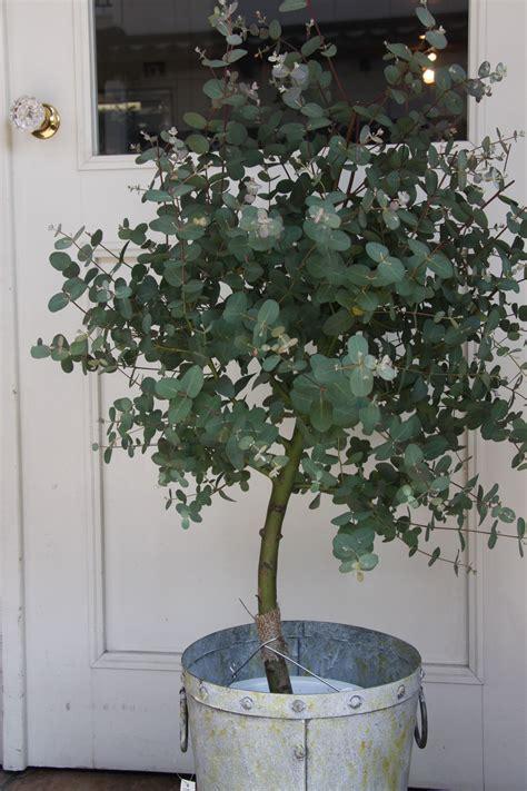 grow eucalyptus indoor plants indoor garden plants