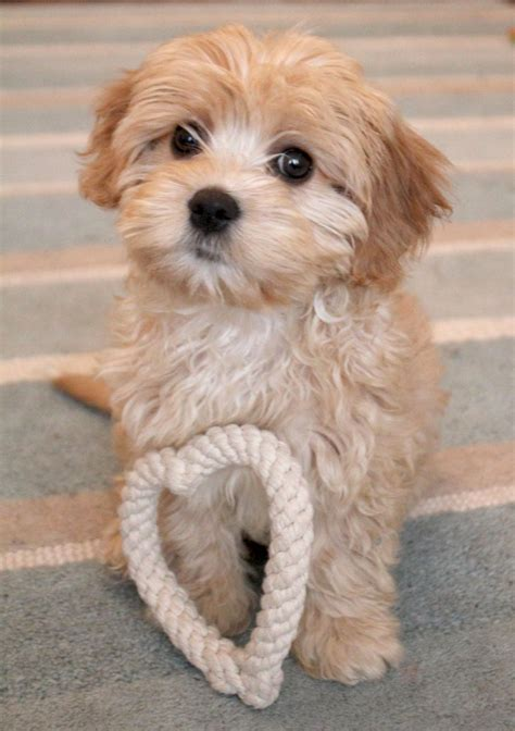 cavapoo puppies for sale cavapoo puppies for sale lancashire pets4homes