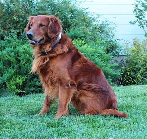 golden retriever puppy characteristics field golden retriever characteristics dogs in our photo