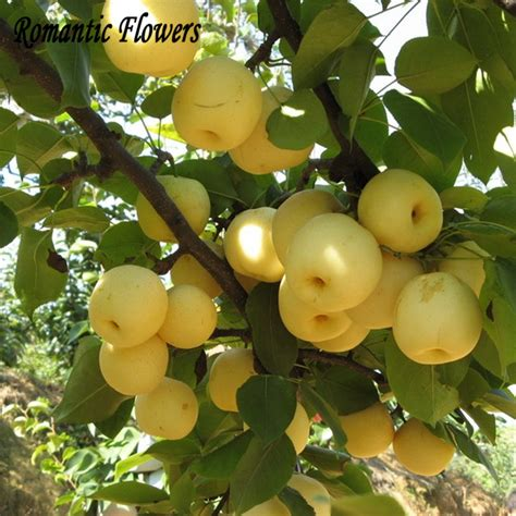 fruit trees wholesale buy wholesale pear fruit trees from china pear