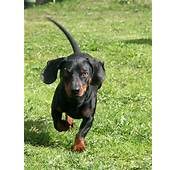 Dachshund Playing Pictures And Images