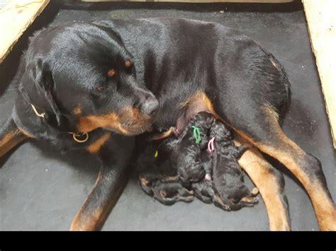 evie rottweiler evie rottweiler puppies for sale