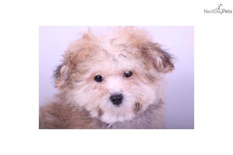 yorkie poo names meet curly a yorkiepoo yorkie poo puppy for sale for 299 yorkie poo