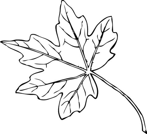 Sycamore Leaf Outline by Sycamore Tree Leaf Clipart Clipartxtras