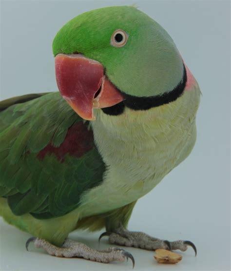 small parrots hari