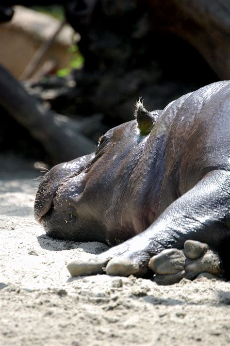 mini hippo mini hippo time by crimson9 on deviantart