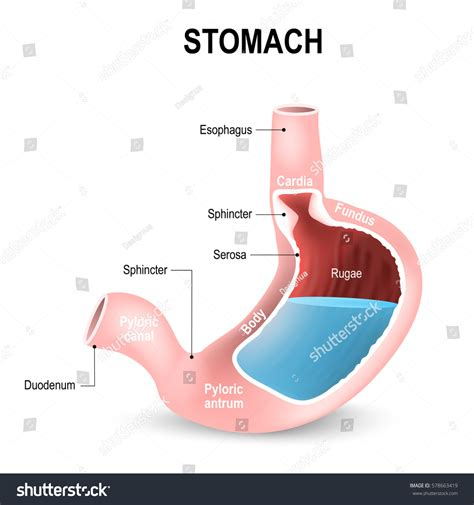 sections of stomach sections stomach parts regions duodenum esophagus stock