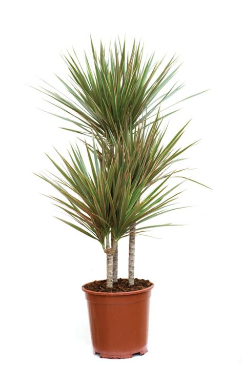 Dracaena Marginata by 7 Houseplants To Improve The Air Quality In Your Home