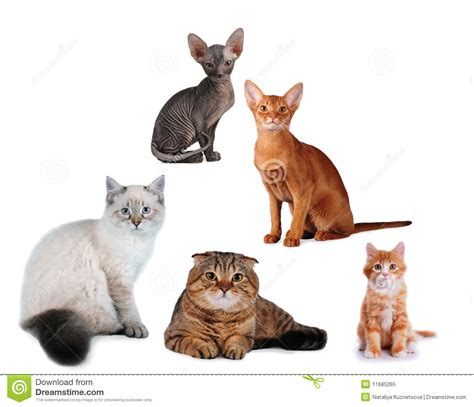 Group Of Cats Different Breed Isolated Royalty Free Stock