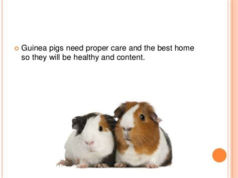 7 Tips On Caring For Pigs by Guinea Pigs 101 How To Care For Your New Pet