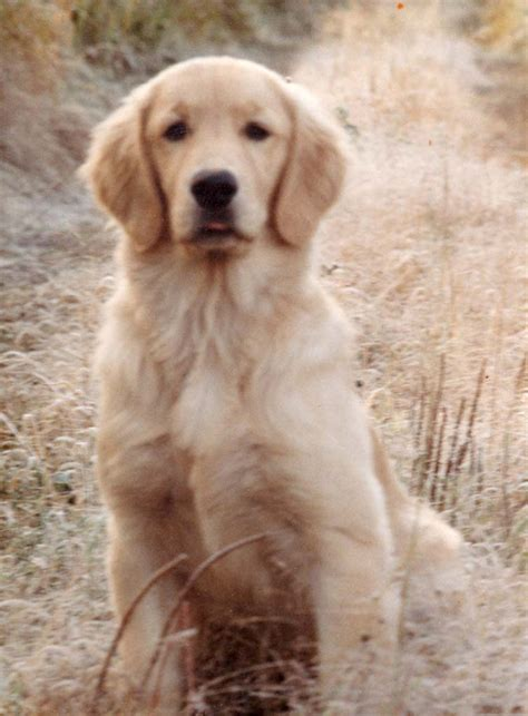 span of golden retrievers golden retriever breed information puppies pictures