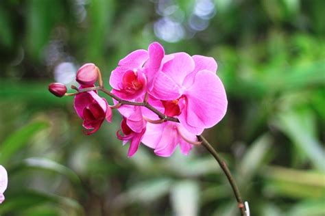 gambar bunga anggrek pink  cantik pernik dunia