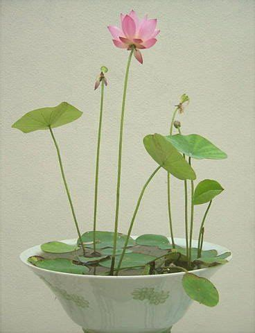 How To Grow Lotus In A Pot 25 Best Ideas About Lotus Garden On Garden