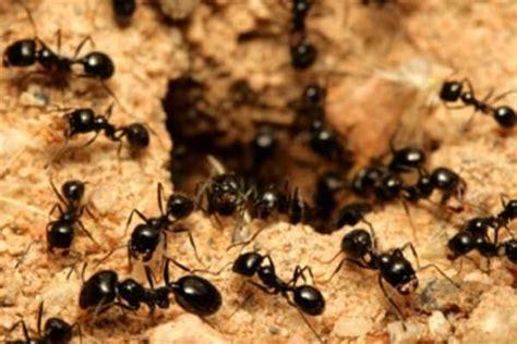 imagenes hormigas negras qu 233 significa so 241 ar con hormigas interpretaci 243 n y simbolog 237 a