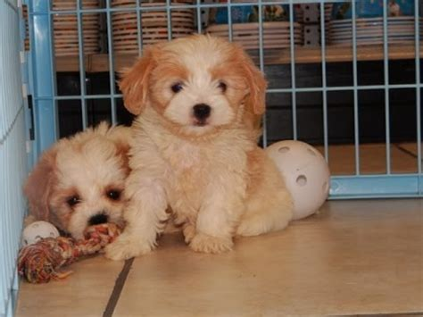 puppies for sale in prescott az cava chon puppies for sale in arizona az prescott valley bullhead