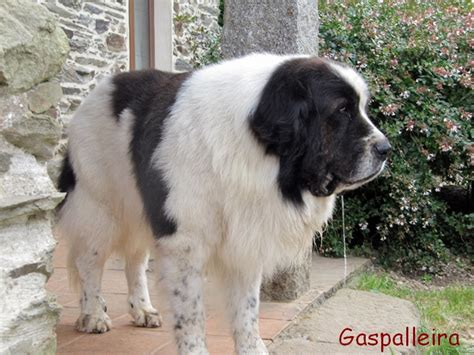 pyrenean mastiff puppies pyrenean mastiff history personality appearance health and pictures