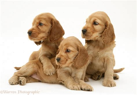 free cocker spaniel puppies cocker spaniel puppies 3 cool wallpaper
