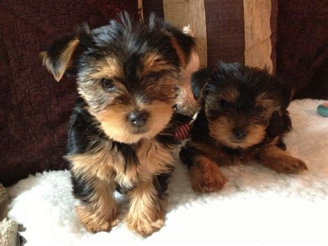 yorkie sizes size of terrier litters dogs terrier