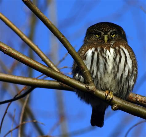 northern pygmy owl owl facts and information