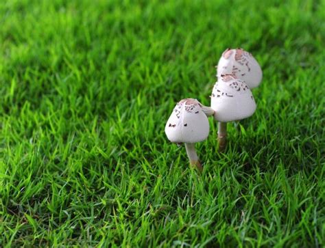 Weise Pilze Im Garten Essbar
