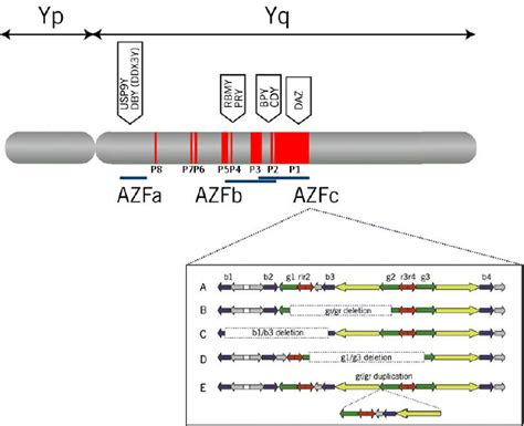The structure of AZF subregions and associated genes on ... Y Chromosome Microdeletion