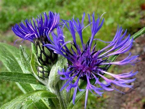 curarsi con i fiori di bach fiori di bach piante medicinali come usare i fiori di bach