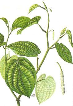 Betel Leaf Daun Sirih Essential 5ml betel leaf essential piper betle luminescents