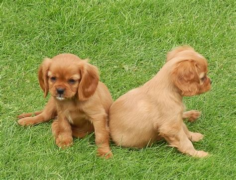 cavalier puppies for sale cavalier king charles spaniel stud breeds picture