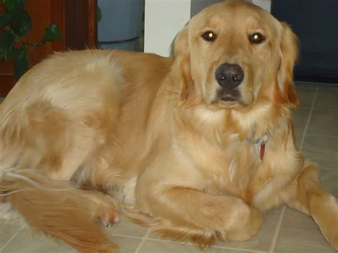 golden retrievers for rescue buster is ready for adoption golden retriever rescue of southern maryland