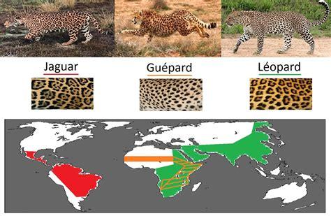 leopard jaguar panther difference quelle est la diff 233 rence entre jaguar l 233 opard et gu 233 pard