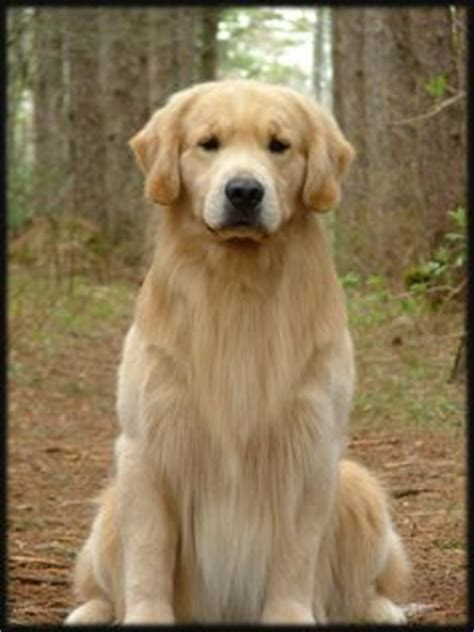 rhonda hovan golden retrievers this is my foster he is five years and he is a