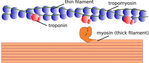 3 proteins found in thin filaments myofilament