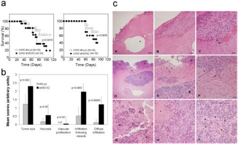 pattern analysis glioma figure 9 sox2 rnai attenuates s phase entry and induces