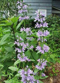 deer resistant climbing plants quot syringa tinkerbell quot lilac garden flowers plantings