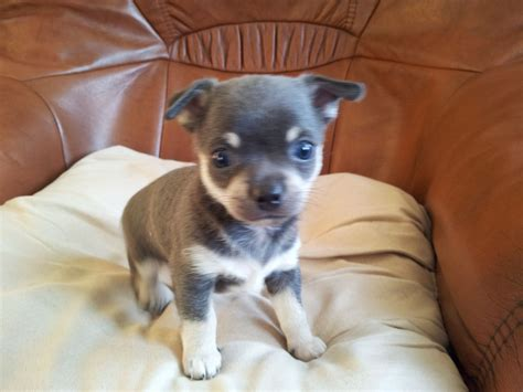 chi for dogs blue chihuahua puppies for sale spilsby lincolnshire pets4homes