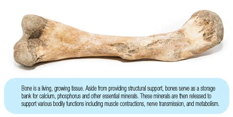 what are dogs made out of the bone remodeling process in dogs made simple broken bone healing in dogs boneo