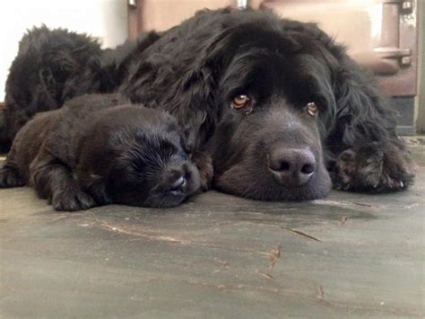newfoundland puppies for sale newfoundland puppies and newfoundland breeders newfoundlands black breeds picture