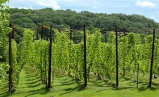 Hop Growing Trellis Design Magical Ingredients Beeruniversity