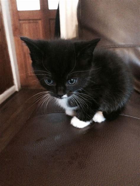 black and white kitten black and white kitten available birmingham west