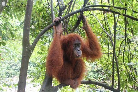 imagenes animales que saltan orangutanes y aventura en la isla de sumatra viaje solo ida
