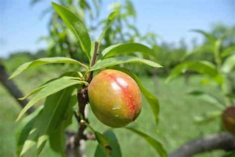 nectarine tree nectarine fruit tree spraying learn about fruit tree spray for nectarines