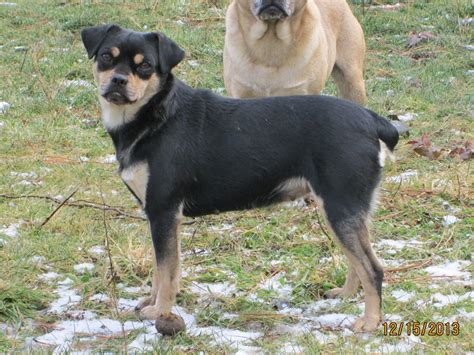 pug pinscher mix carlin pinscher miniature pinscher pug mix info puppies pictures
