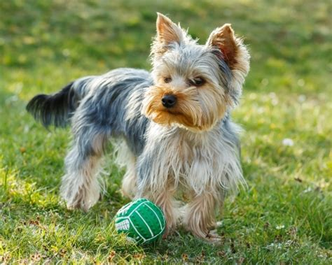 yorkie stomach problems top 5 best foods for yorkies 2017 buyer s guide mysweetpuppy net