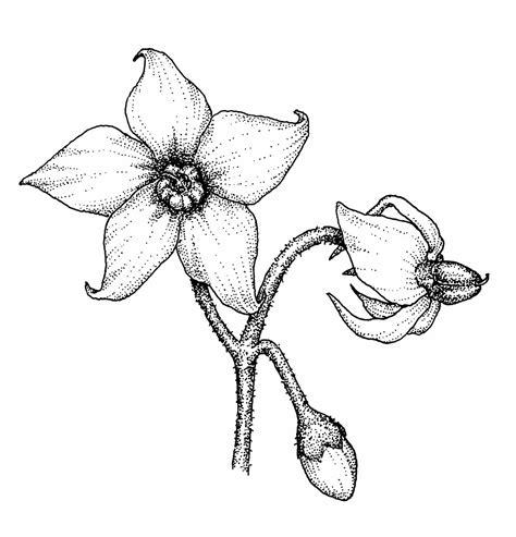 solanum ptycanthum eastern black nightshade go botany