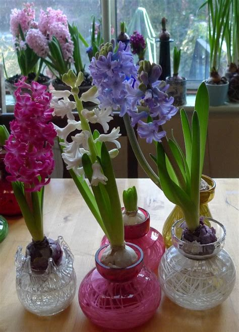Forcing Hyacinth Bulbs In Vases 1000 Images About Hyacinth Flower S 252 Mb 252 L 231 I 231 Eği On