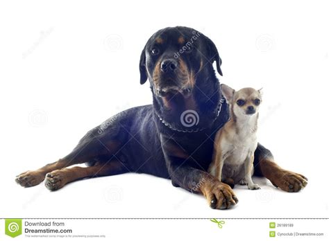 chihuahua rottweiler rottweiler and puppy chihuahua royalty free stock images image 26189189