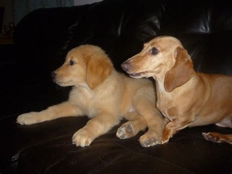 golden retriever weiner golden retriever and dachshund big