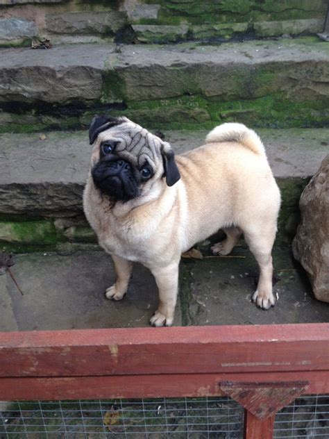 7 month pug 7 month kc reg fawn pug puppy now sold bury greater manchester pets4homes