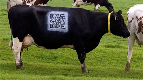 Sprei Cow cow spray painted with qr code to promote dairy farming