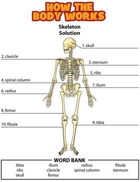 skeletal system diagram pdf sunsci skeletal system